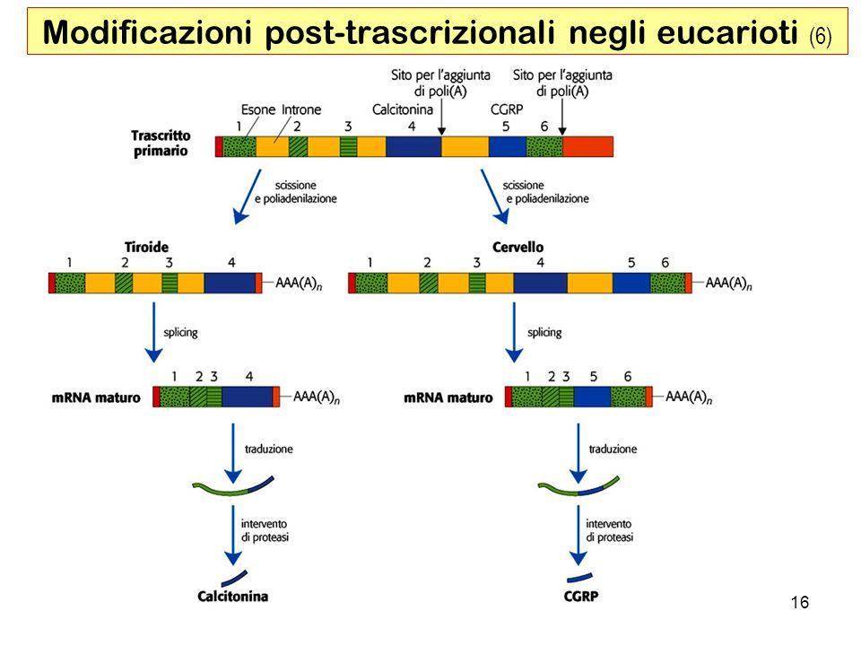 Modificazioni post-trascrizionali negli eucarioti (6)