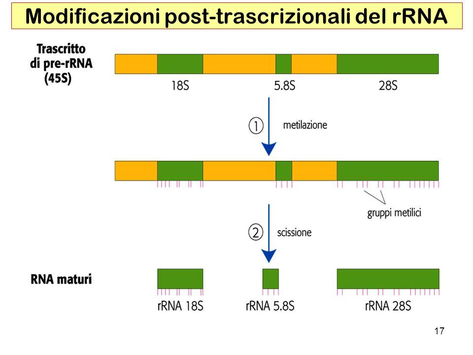Modificazioni post-trascrizionali del rRNA
