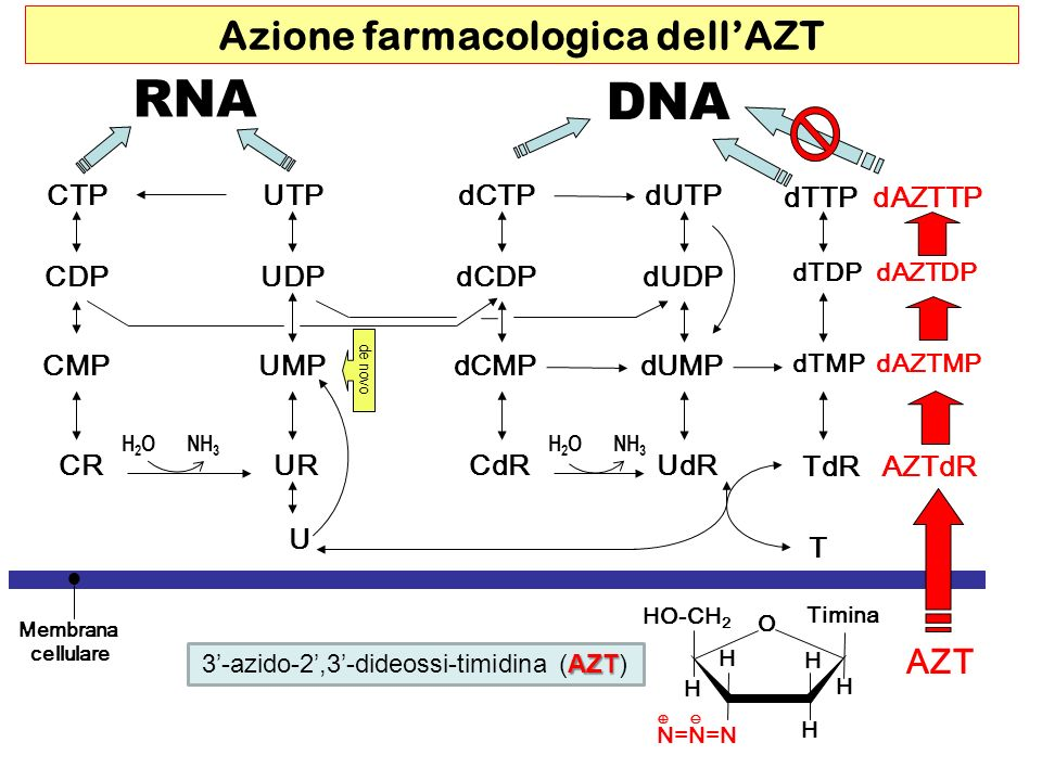 Azione farmacologica dell'AZT