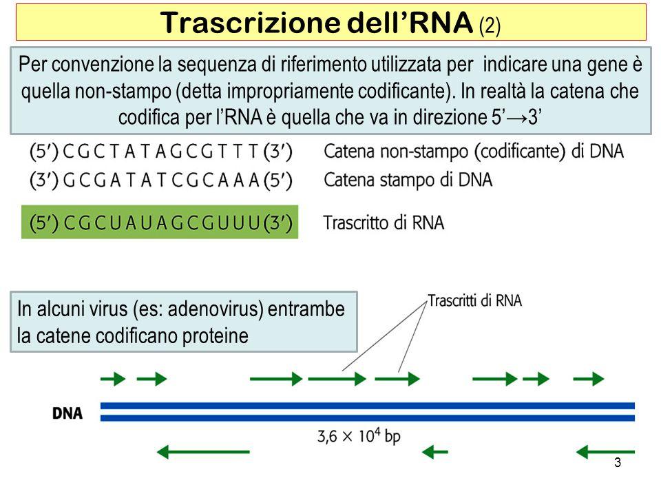 Trascrizione dell'RNA (2)