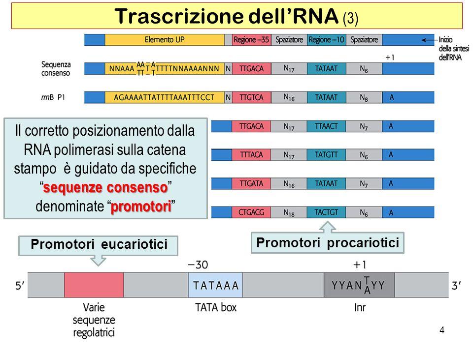 Trascrizione dell'RNA (3)