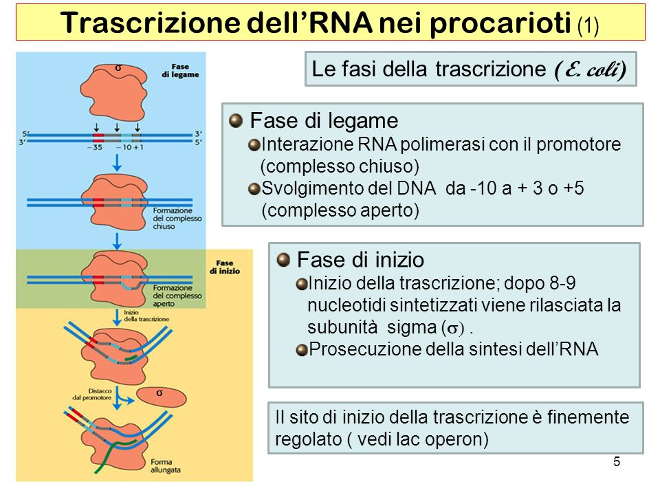 Trascrizione dell'RNA nei procarioti (1)