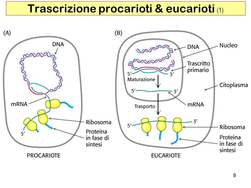 Trascrizione procarioti & eucarioti (1)