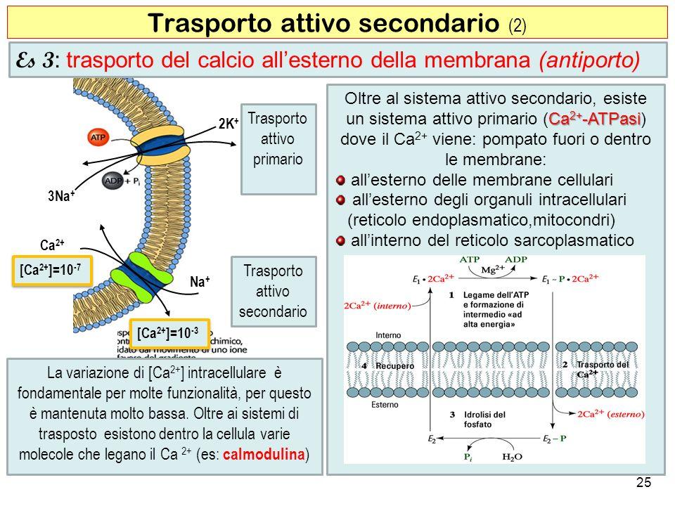 Trasporto attivo secondario (2)