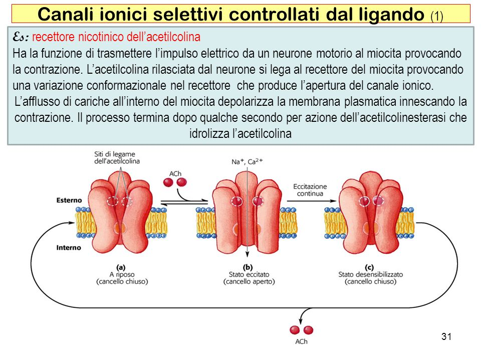 Canali ionici selettivi controllati dal ligando (1)