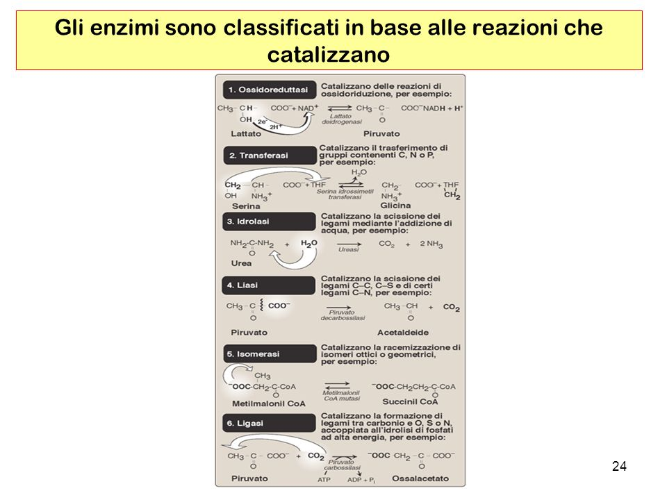 Gli enzimi sono classificati in base alle reazioni che catalizzano