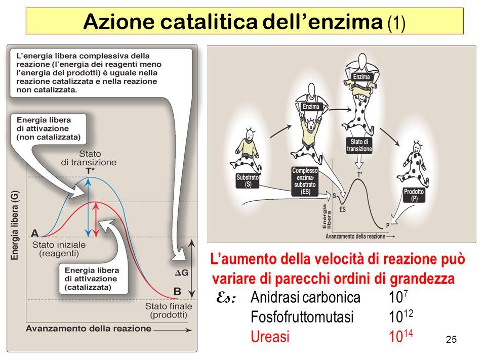 Azione catalitica dell'enzima (1)