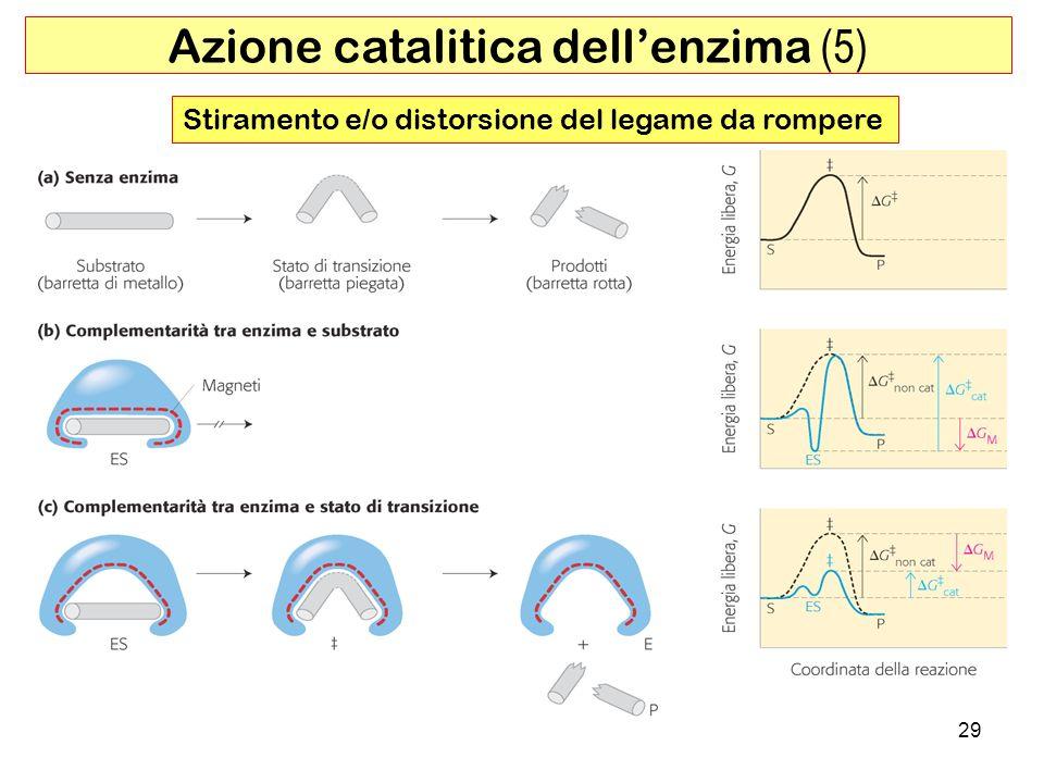 Azione catalitica dell'enzima (5)