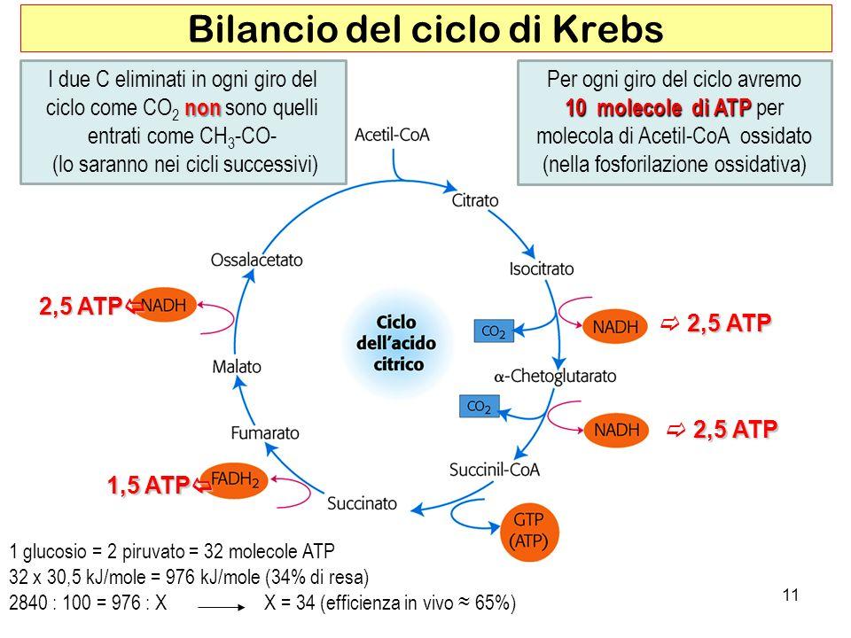 Bilancio del ciclo di Krebs