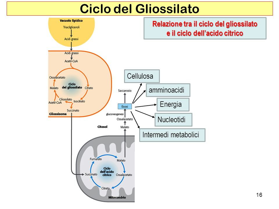 Relazione tra il ciclo del gliossilato e il ciclo dell'acido citrico