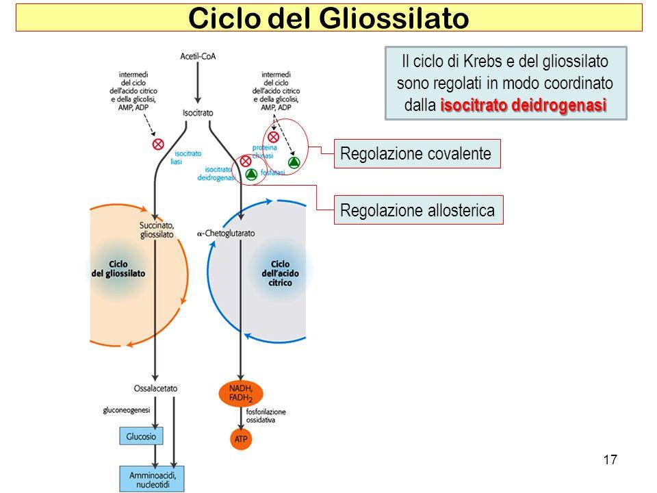 Ciclo del GliossilatoIl ciclo di Krebs e del gliossilato sono regolati in modo coordinato dalla isocitrato deidrogenasi.