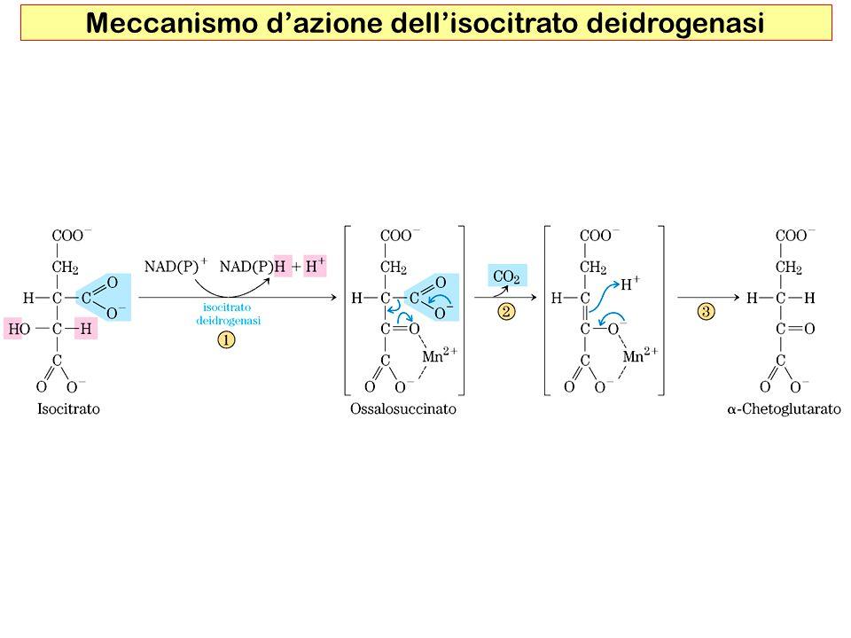 Meccanismo d'azione dell'isocitrato deidrogenasi