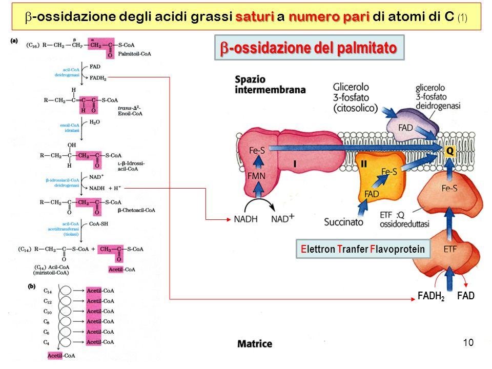 b-ossidazione del palmitato