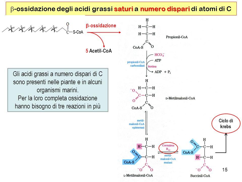 b-ossidazione degli acidi grassi saturi a numero dispari di atomi di C
