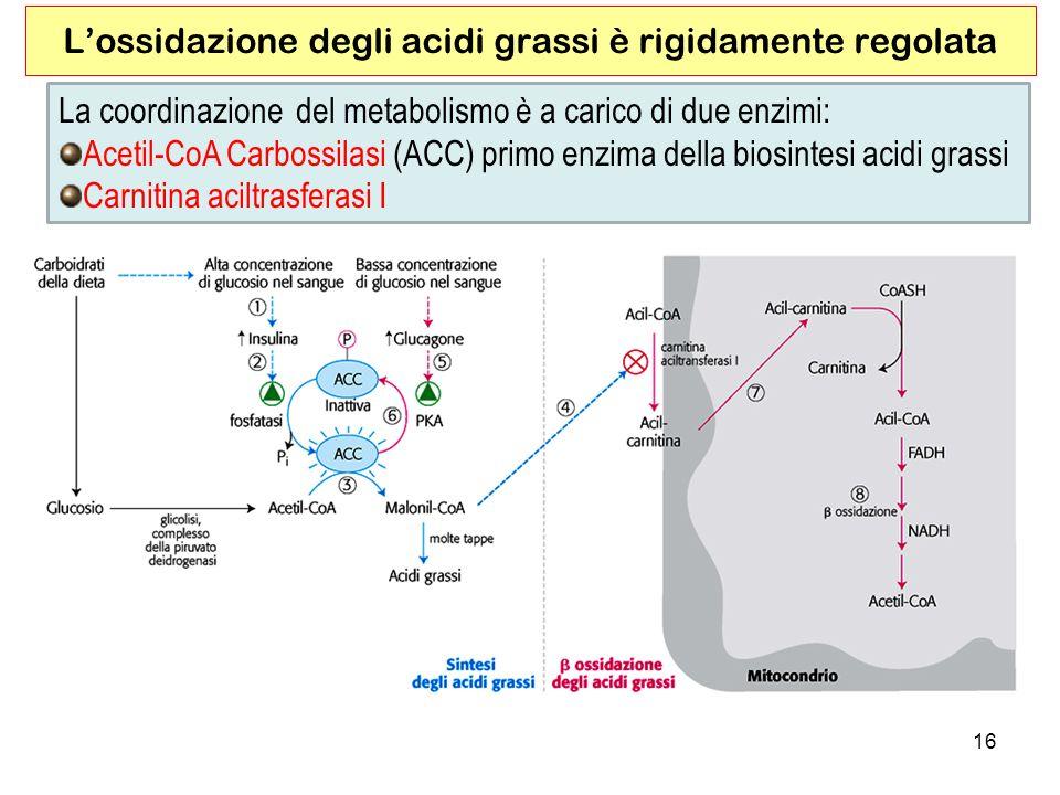 L'ossidazione degli acidi grassi è rigidamente regolata