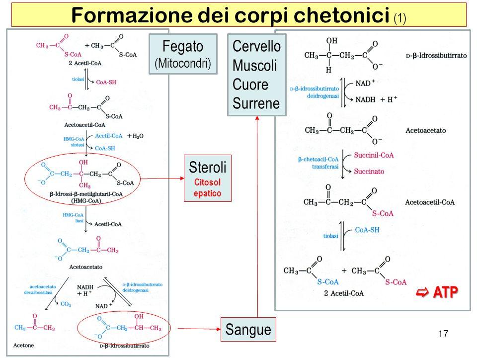 Formazione dei corpi chetonici (1)
