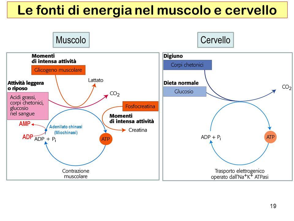 Le fonti di energia nel muscolo e cervello