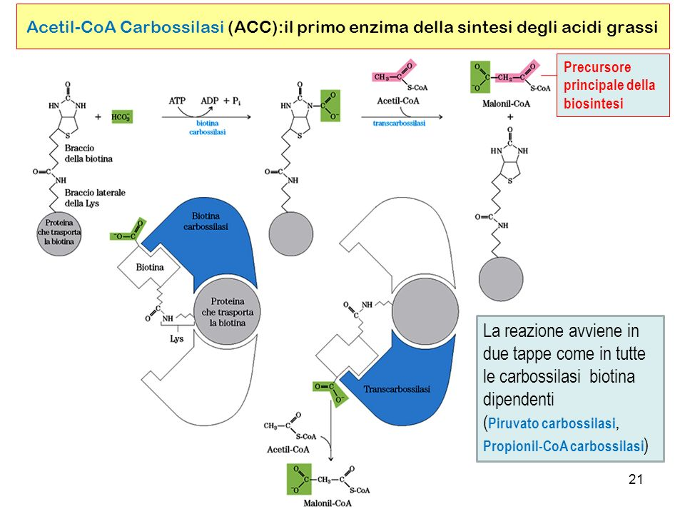 (Piruvato carbossilasi, Propionil-CoA carbossilasi)
