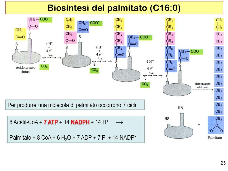 Biosintesi del palmitato (C16:0)