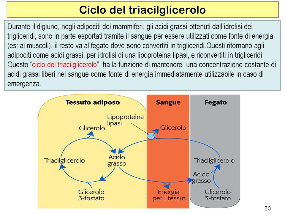 Ciclo del triacilglicerolo