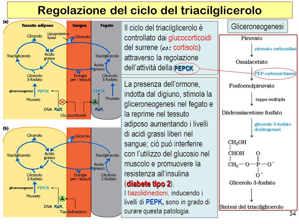 Regolazione del ciclo del triacilglicerolo