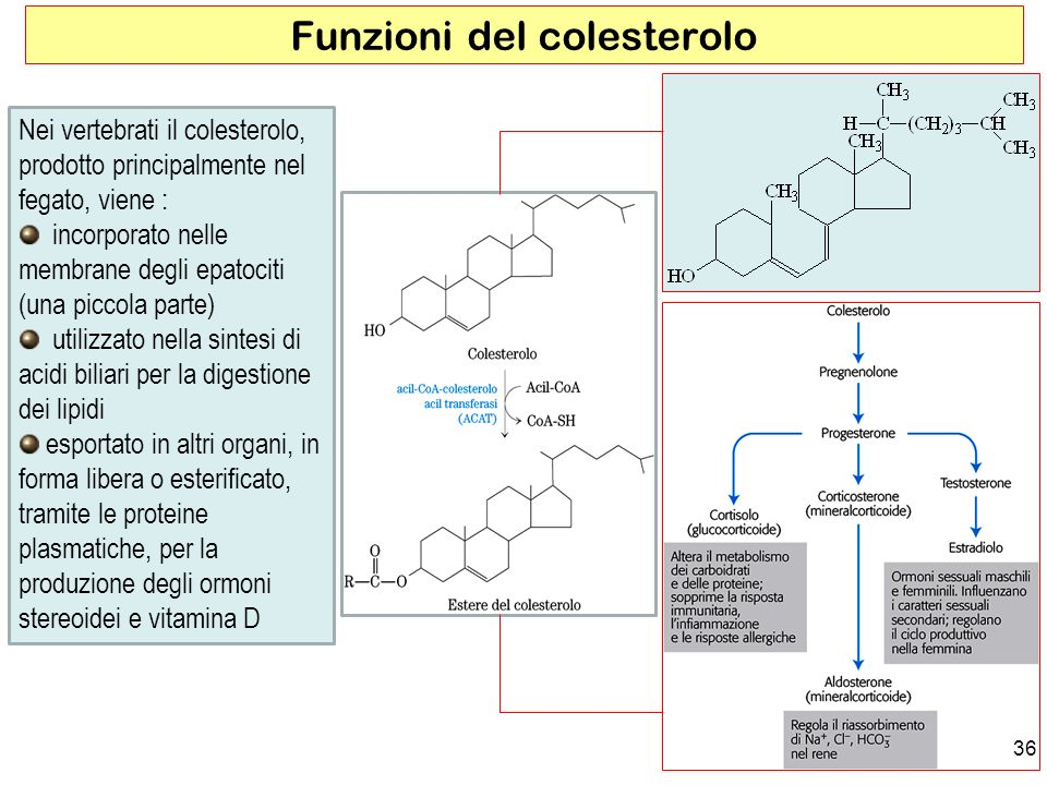 Funzioni del colesterolo