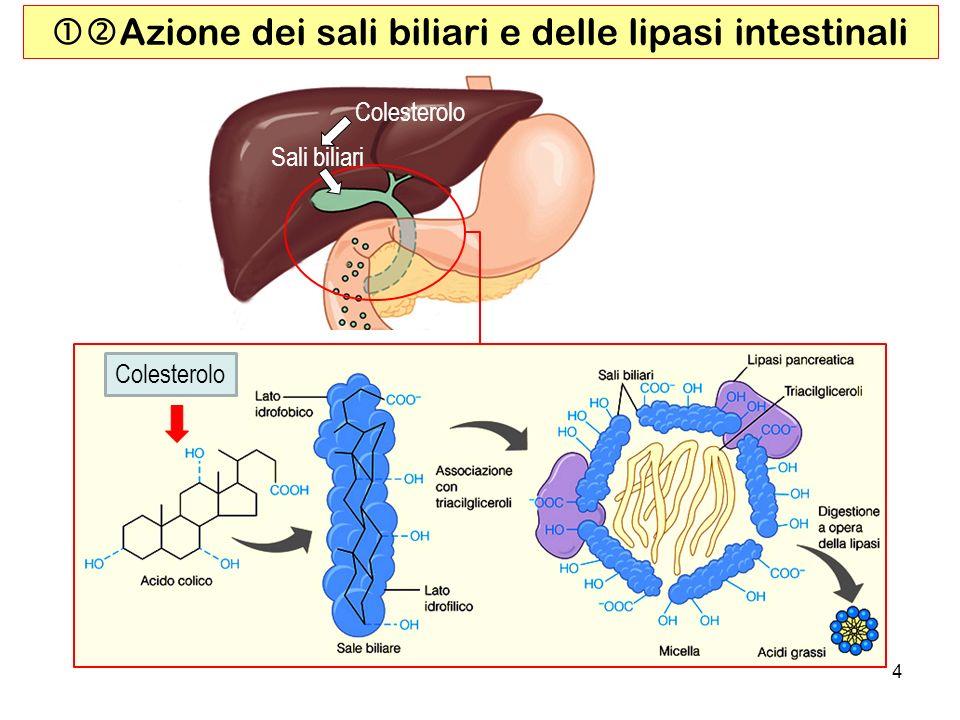 Azione dei sali biliari e delle lipasi intestinali