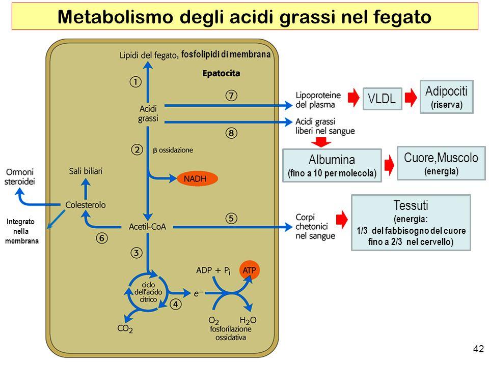Metabolismo degli acidi grassi nel fegato