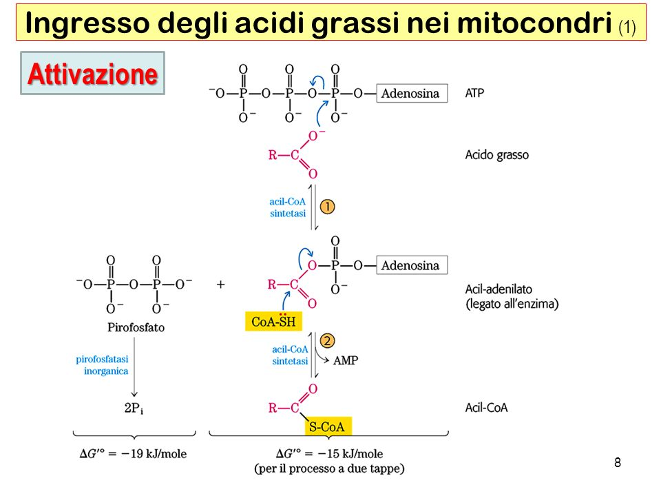 Ingresso degli acidi grassi nei mitocondri (1)