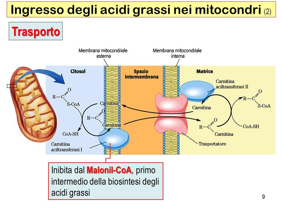 Ingresso degli acidi grassi nei mitocondri (2)
