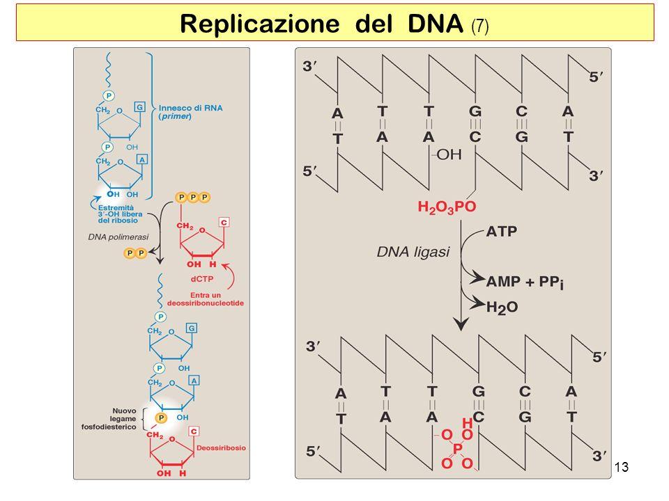 Replicazione del DNA (7)