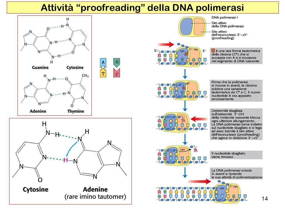 Attività proofreading della DNA polimerasi