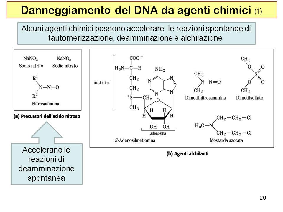 Danneggiamento del DNA da agenti chimici (1)