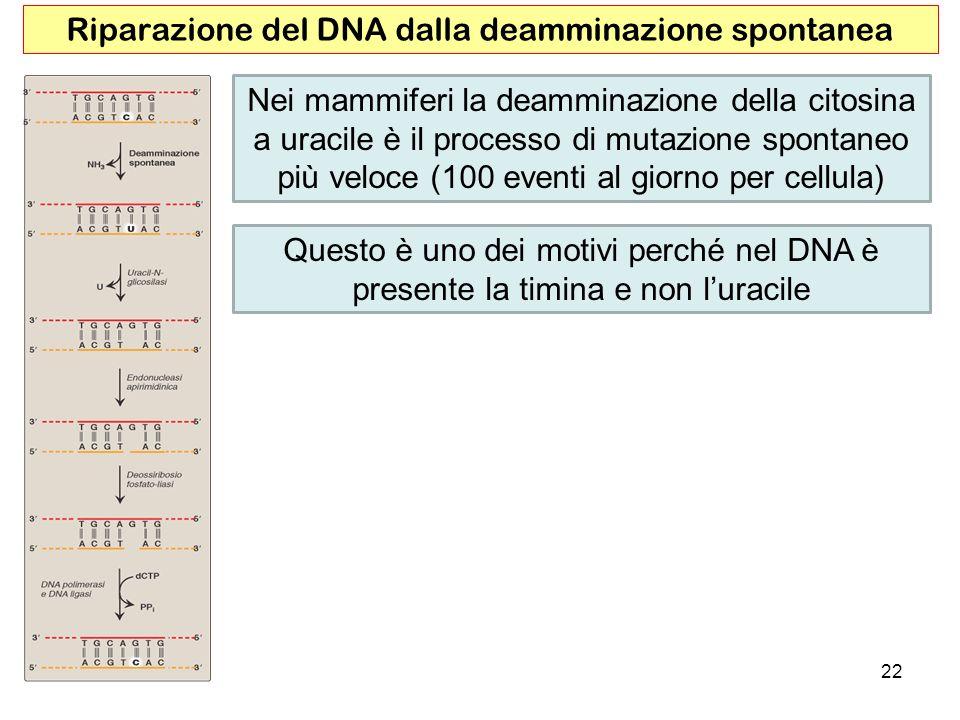 Riparazione del DNA dalla deamminazione spontanea