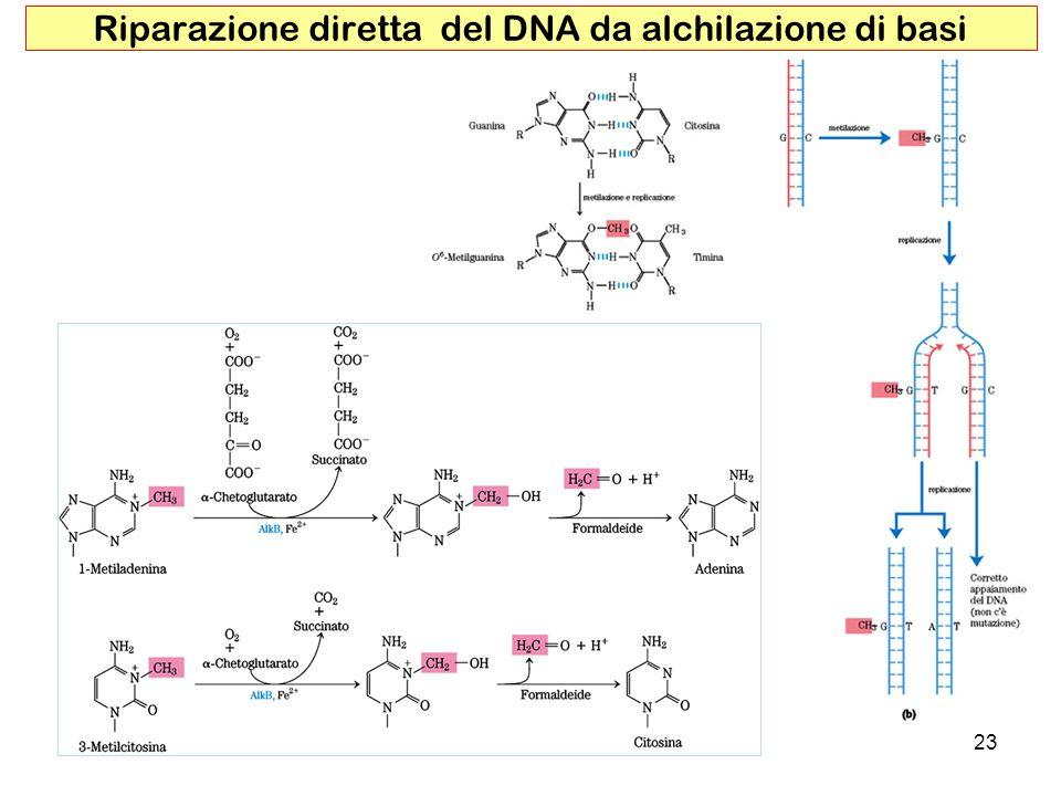 Riparazione diretta del DNA da alchilazione di basi