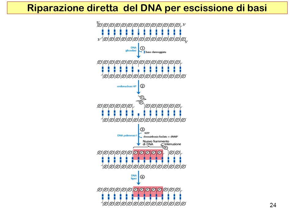 Riparazione diretta del DNA per escissione di basi