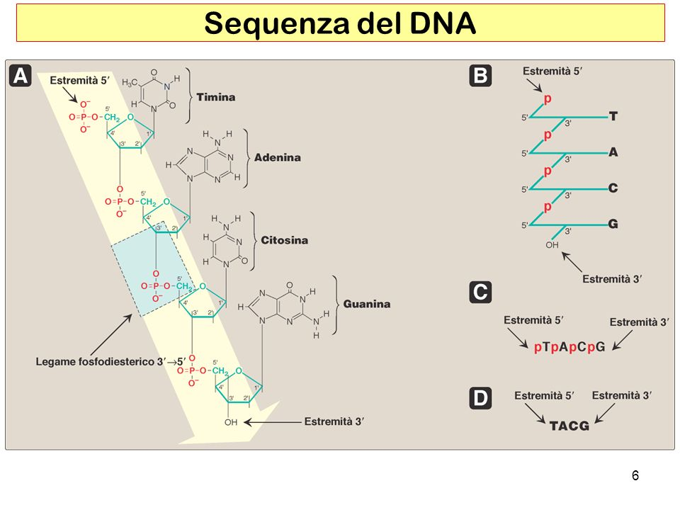 Sequenza del DNA