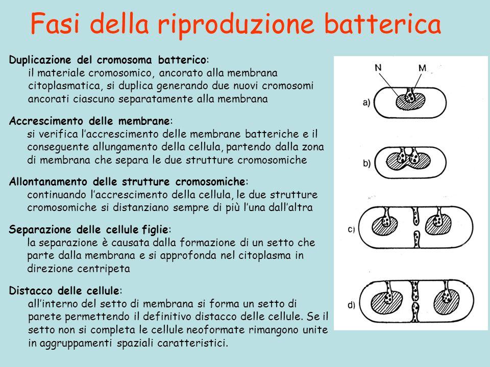Fasi della riproduzione batterica