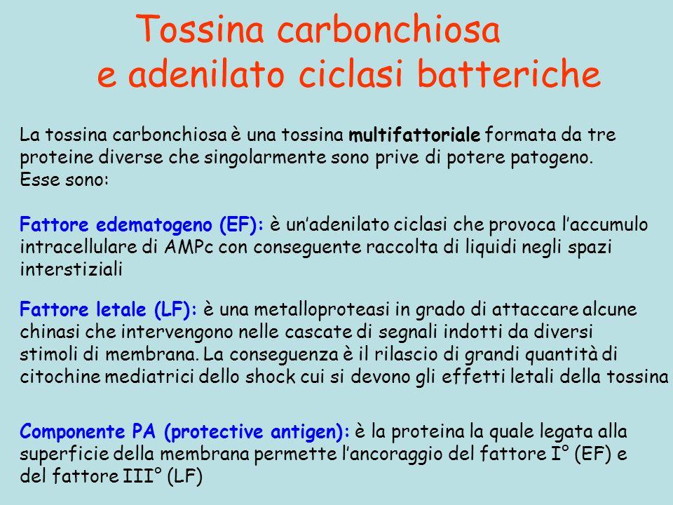 Tossina carbonchiosa e adenilato ciclasi batteriche