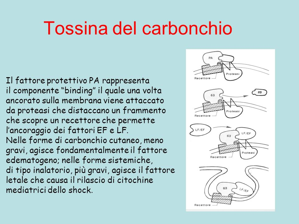 Tossina del carbonchio