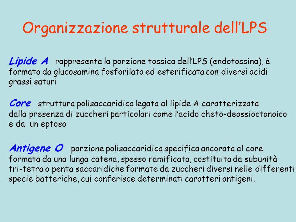 Organizzazione strutturale dell'LPS