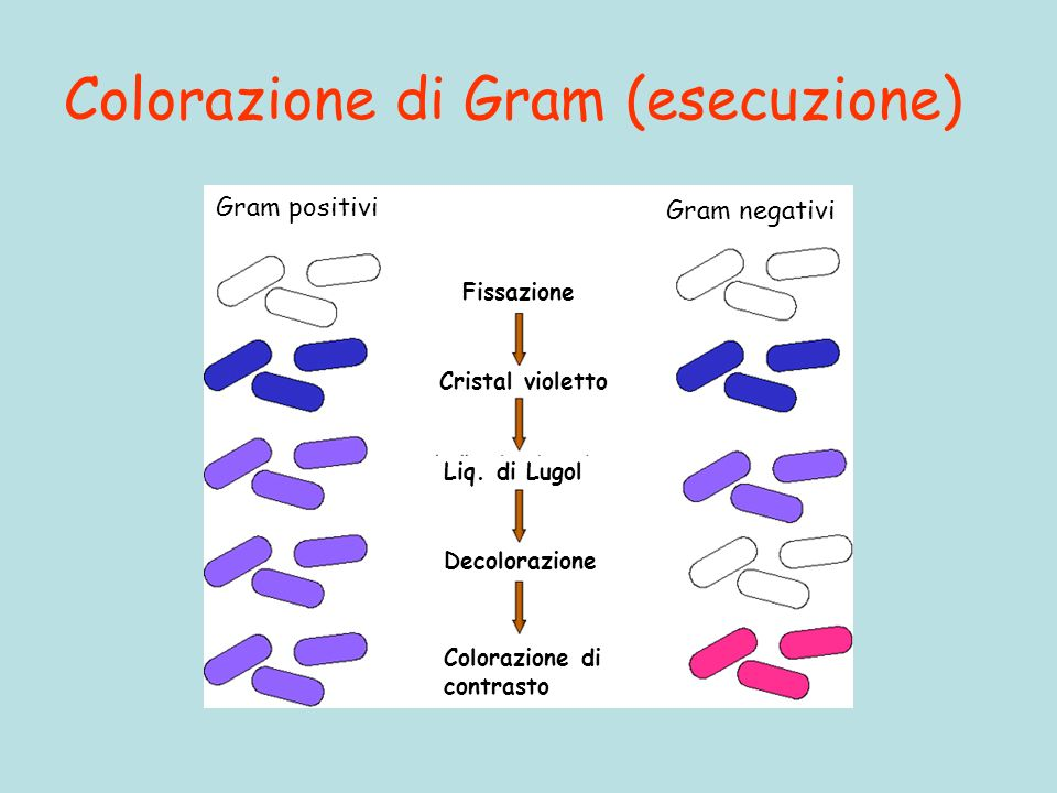 Colorazione di Gram (esecuzione)