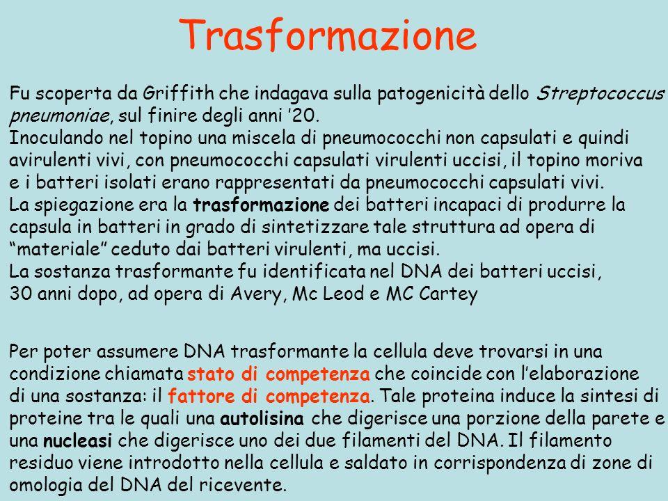 Trasformazione Fu scoperta da Griffith che indagava sulla patogenicità dello Streptococcus. pneumoniae, sul finire degli anni '20.