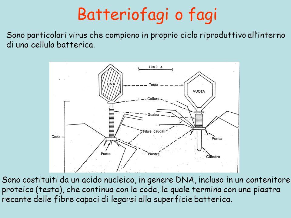 Batteriofagi o fagi Sono particolari virus che compiono in proprio ciclo riproduttivo all'interno. di una cellula batterica.