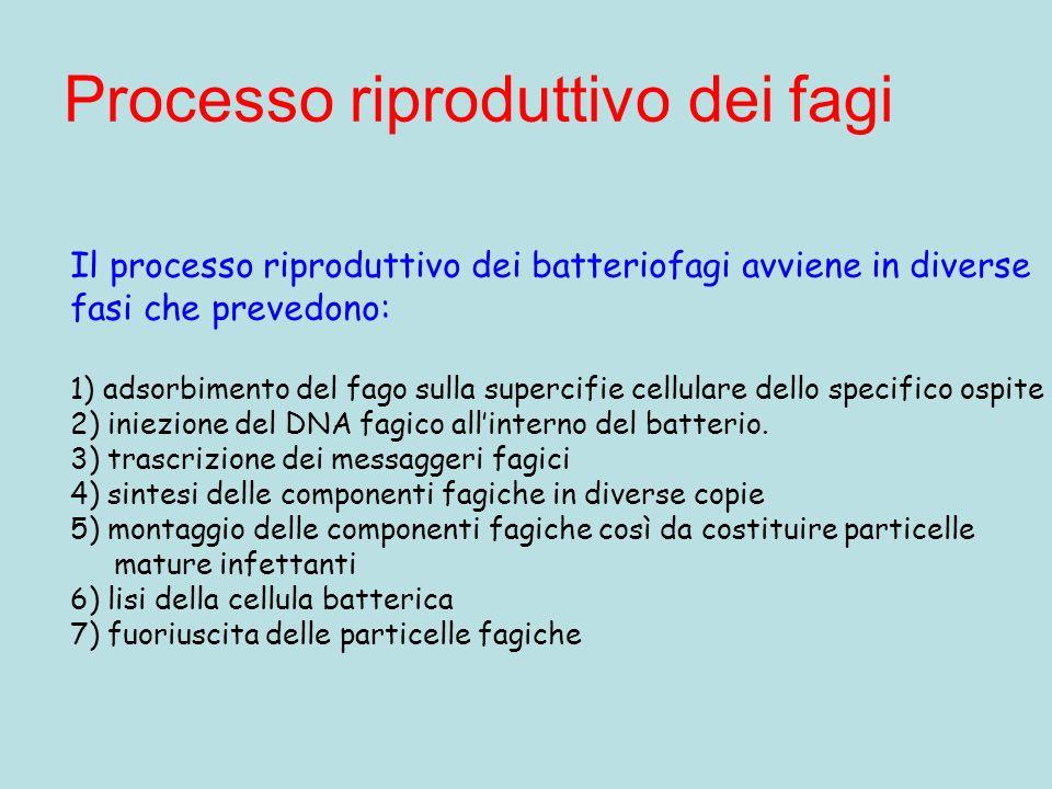 Processo riproduttivo dei fagi