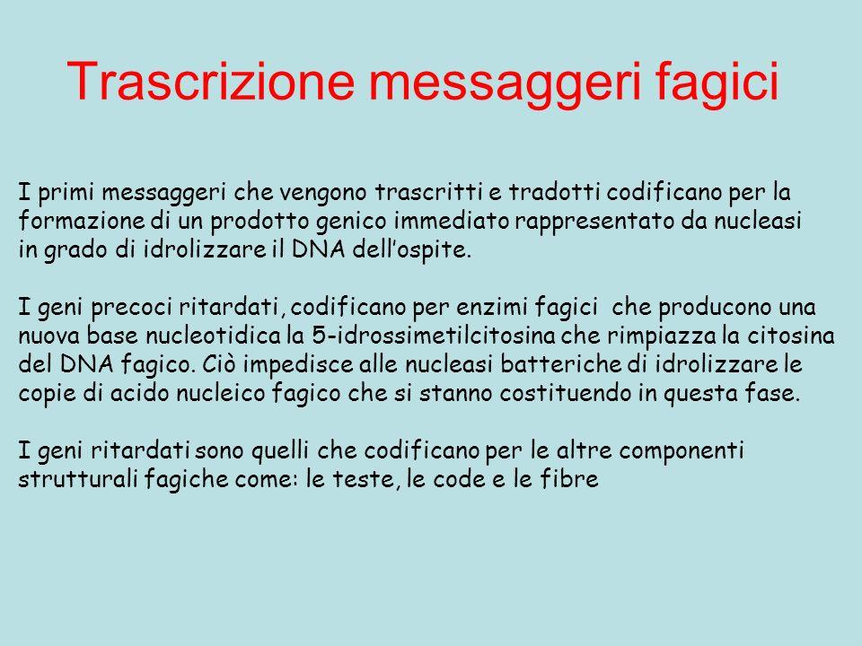 Trascrizione messaggeri fagici