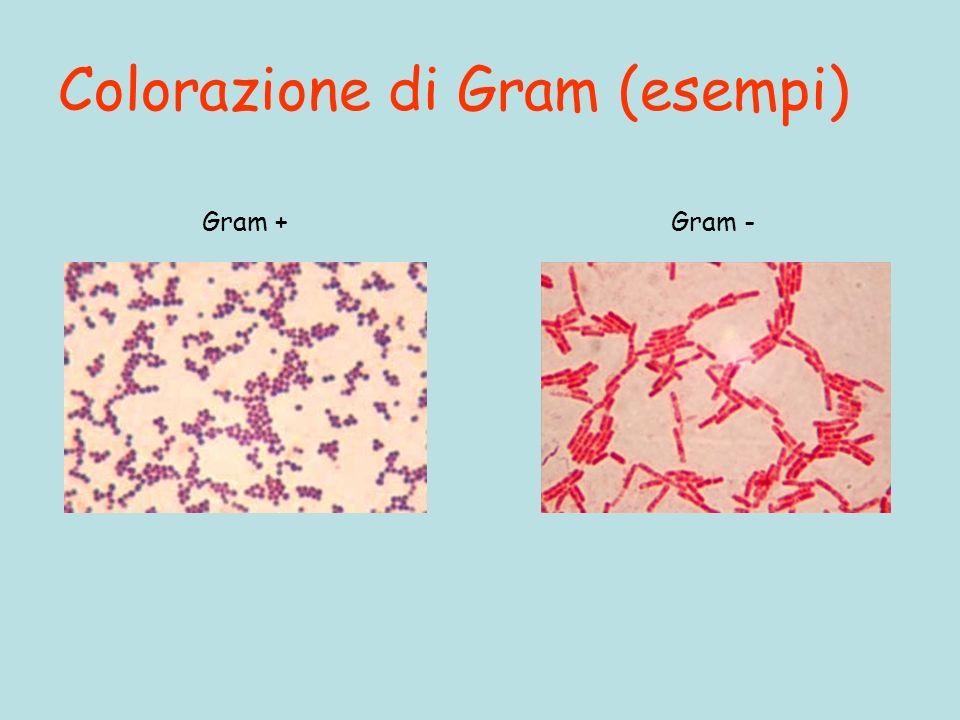 Colorazione di Gram (esempi)