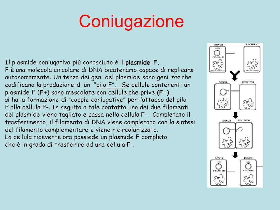 Coniugazione Il plasmide coniugativo più conosciuto è il plasmide F.