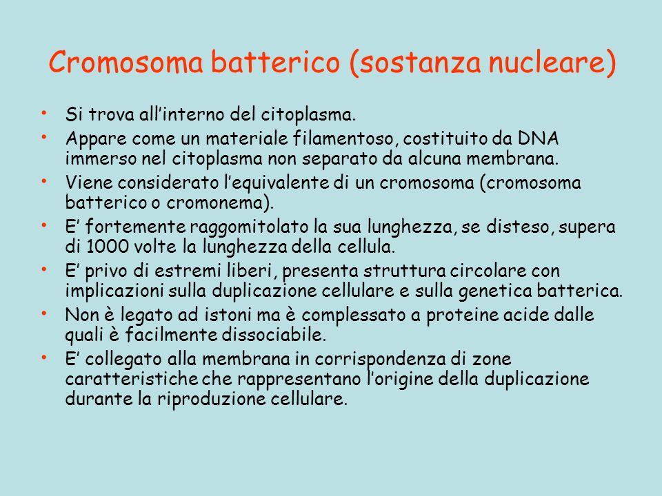Cromosoma batterico (sostanza nucleare)