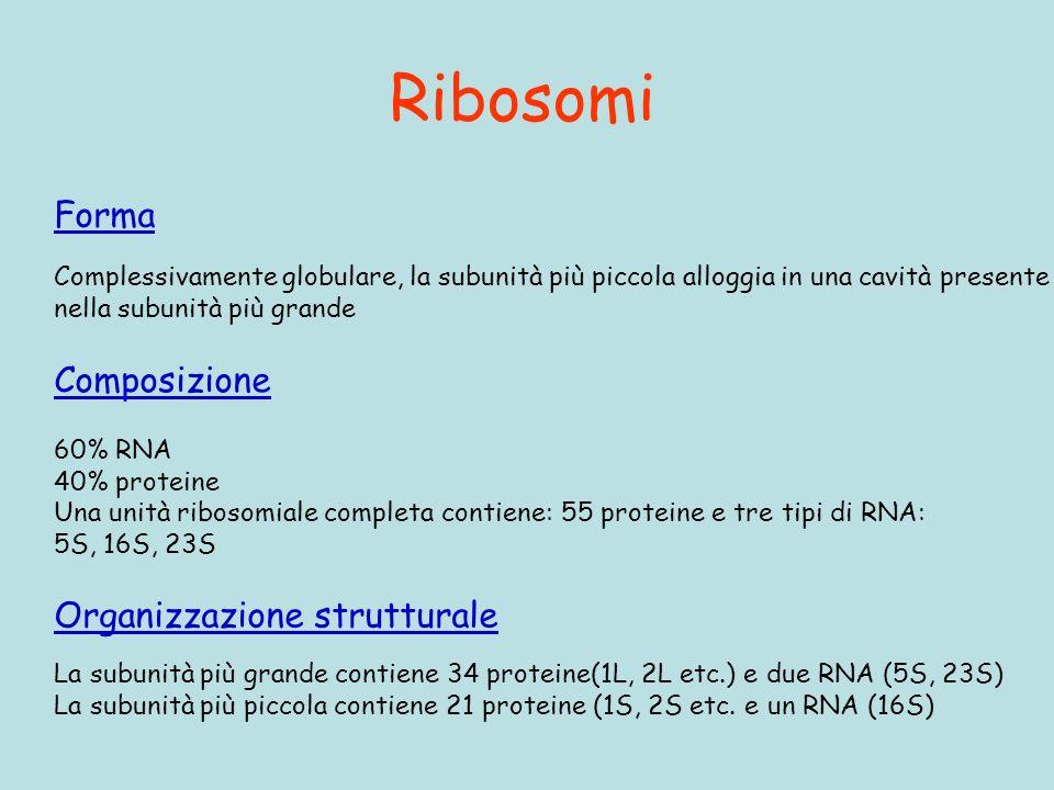 Ribosomi Forma Composizione Organizzazione strutturale